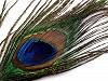 Pawie pióro długość 70-110 cm