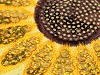 Nažehlovačka slunečnice s flitry