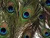 Pávie perie dĺžka 20 cm