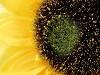 Umělá slunečnice