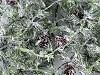 Umelý smrekovec so šiškami srienistý zimný