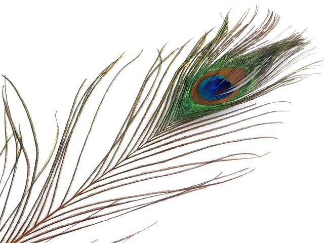 Pfauenfedern Länge 70-110 cm